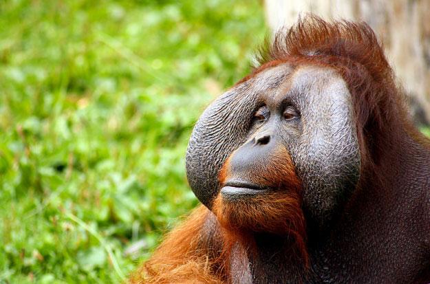 Orangutan looking calmly to the side