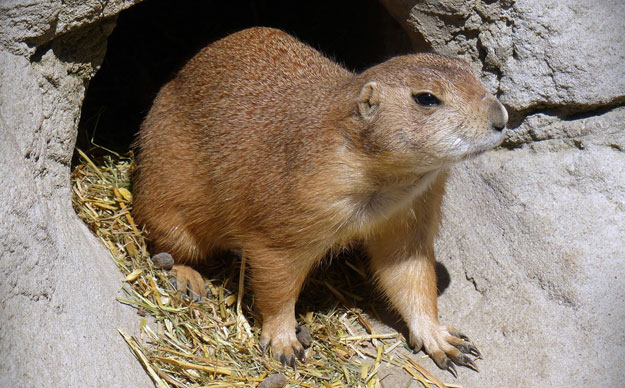 Prairie dog peeking out of hole
